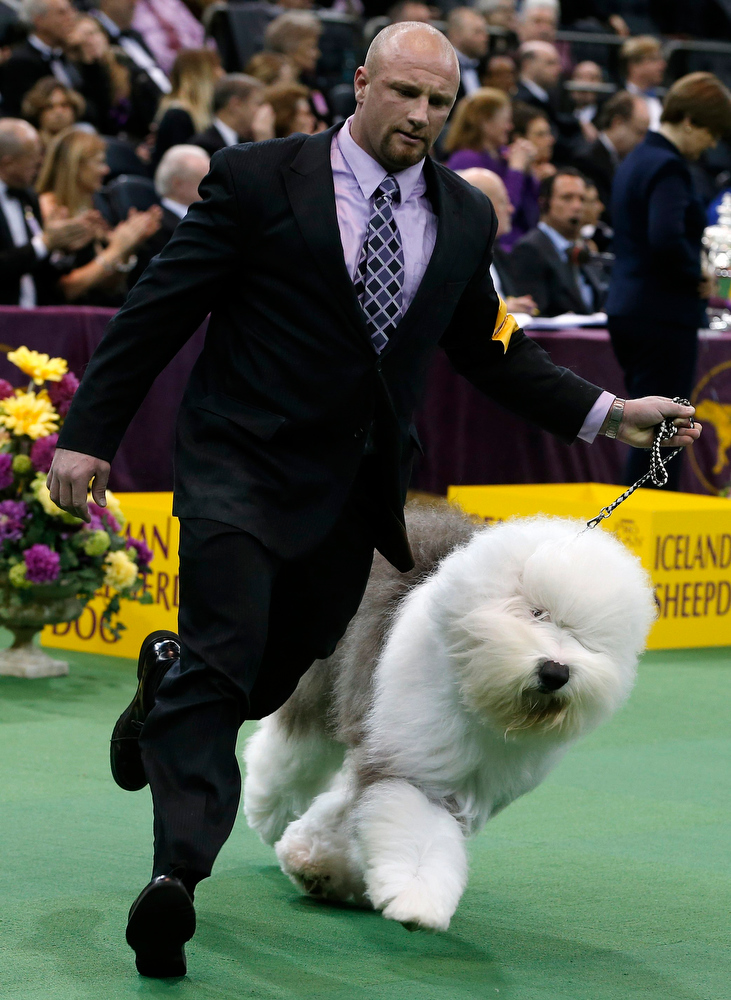 Description of . Handler Colton Johnson runs with Swagger, an Old English Sheepdog and winner of the Herding Group, during competition at the 137th Westminster Kennel Club Dog Show at Madison Square Garden in New York, February 11, 2013. Swagger will advance to the Best in Show competition on February 12. REUTERS/Mike Segar