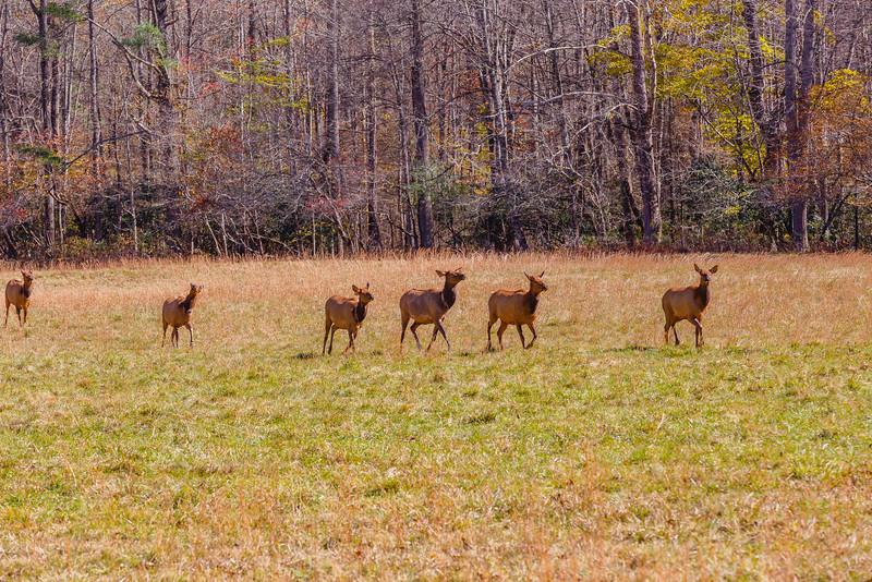 Elk, Cataloochee Valley