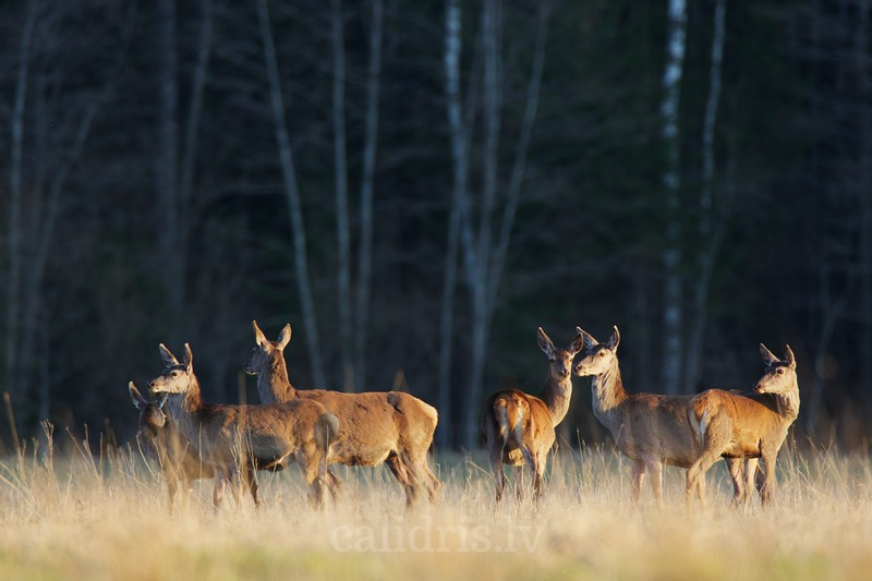 Red deer gather in a forest clearing in a sunset light