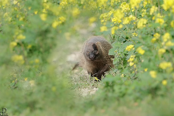 Mongooses - נימיות