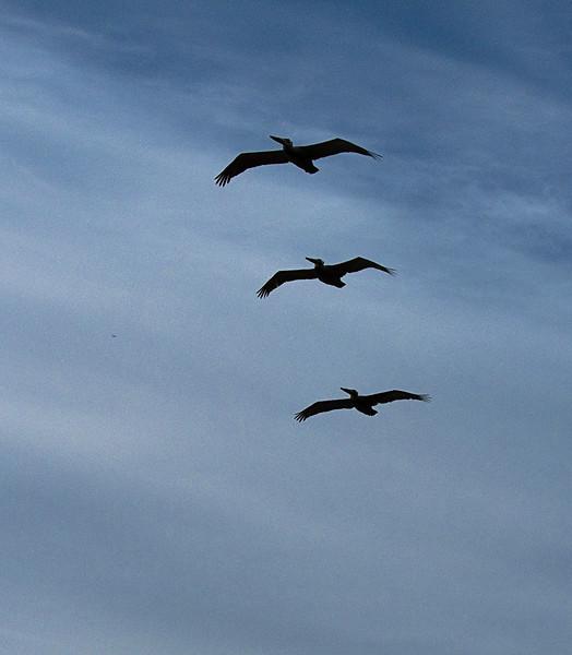 carlsbad pelicans.jpg