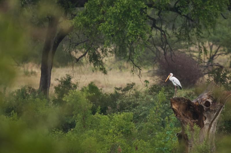 Yellow-billed Stork, Kruger National Park