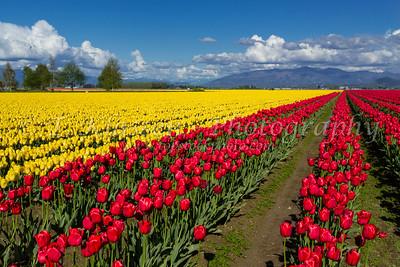 Mount Vernon, Tulip Fields