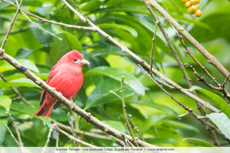 Summer Tanager - Los Quetzales Lodge, Guadalupe, Panama