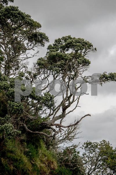 nz pahia tree.jpg