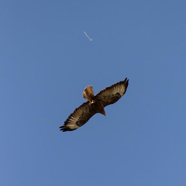Ushguli, arendbuizerd, long-legged buzzard