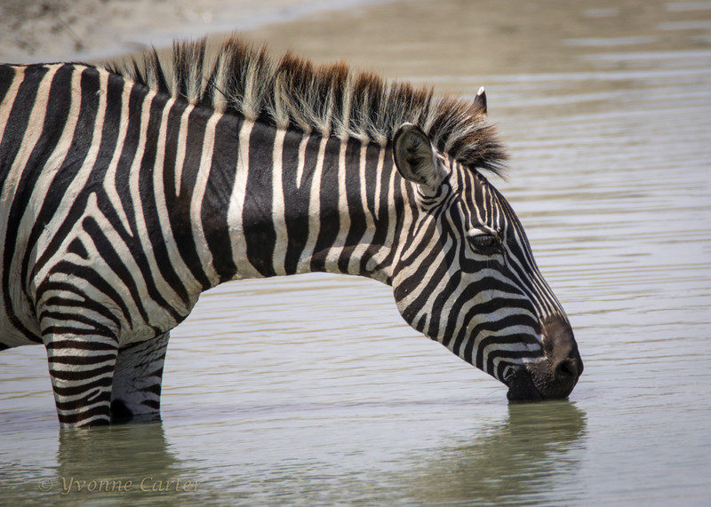 Zebra drink head_10_w.jpg