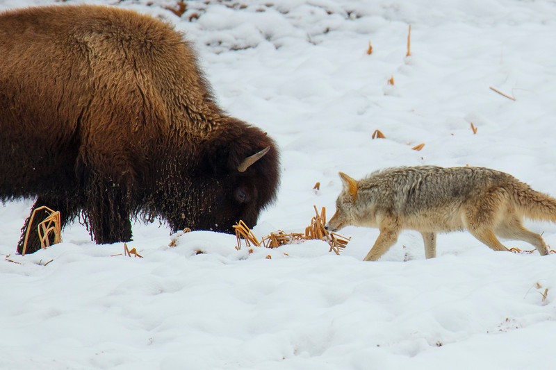 387A9923 Coyote & bison face to face.jpg