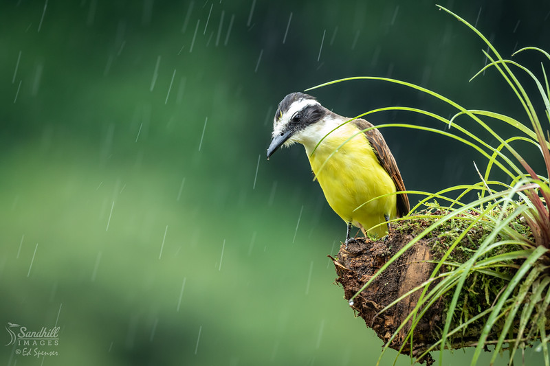 Great kiskadee contemplating a rainstorm
