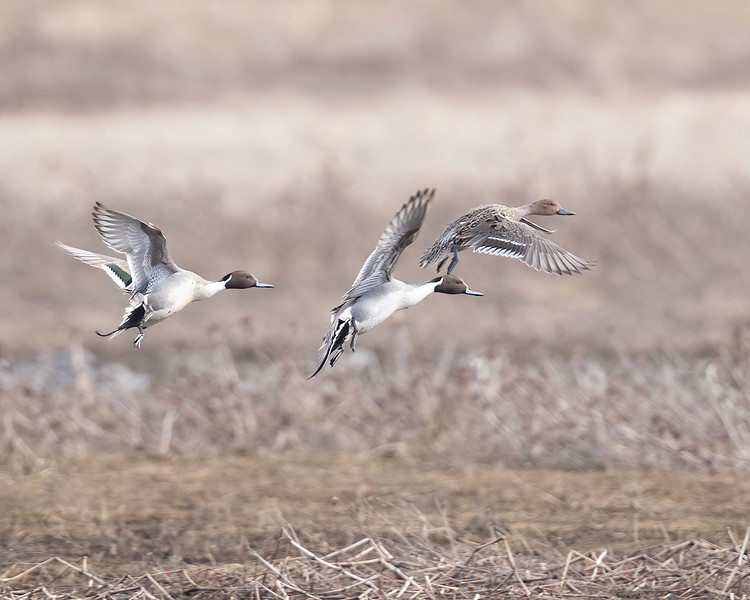 WRPintail_2020_01.jpg