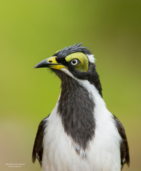Blue-faced Honeyeater, imm, Tallai, QLD, April 2013.jpg