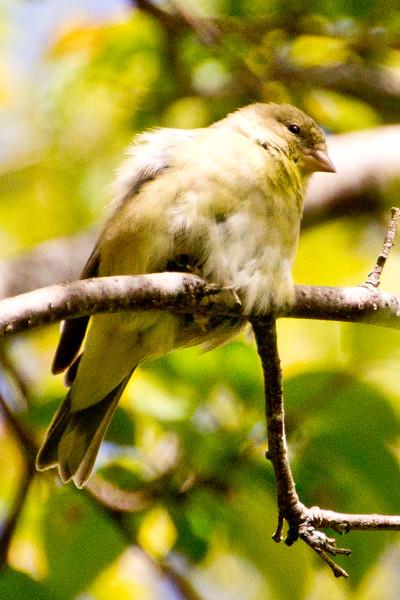 Backyard_Birds-Mar2012-25.jpg
