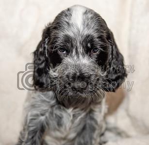 Lexies Puppies