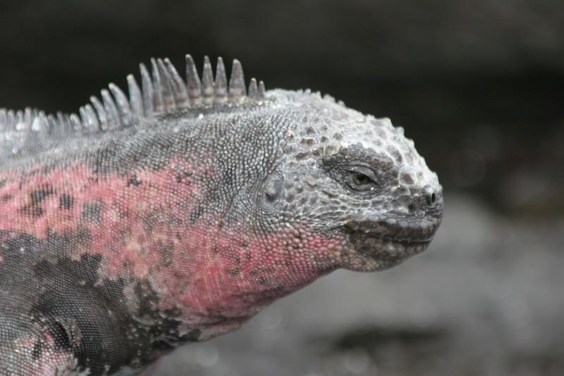 2007-02-19-0005-Galapagos with Hahns-Day 3, Espanola-Marine Iguana.JPG