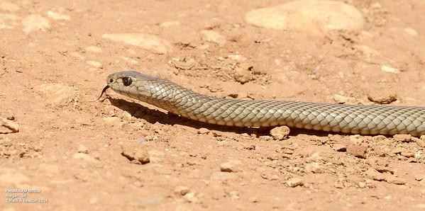 Pseudonaja textilis (Common Brown Snake)