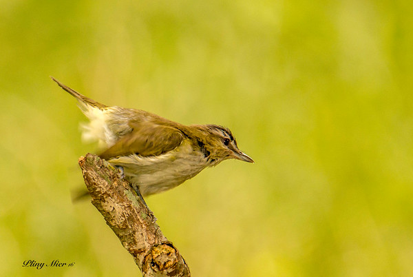 Red-eyed Vireo 3_DWL2936.jpg