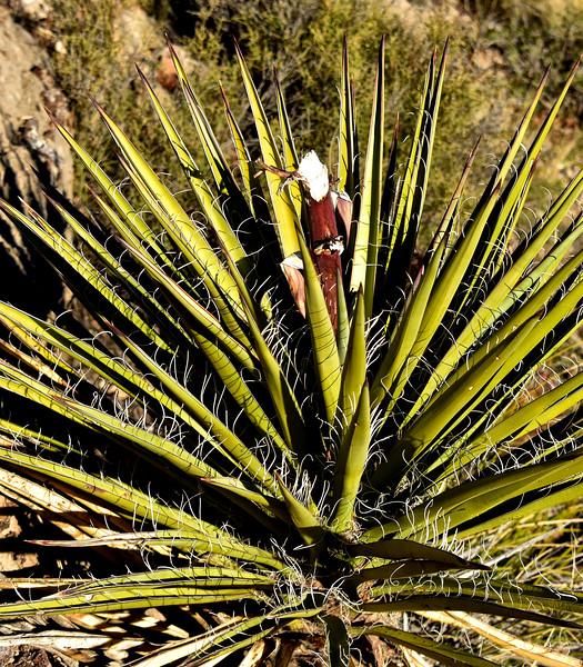 NEA_1156-Game eaten Yucca.jpg