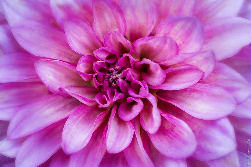 Pink_1757-Edit.jpg