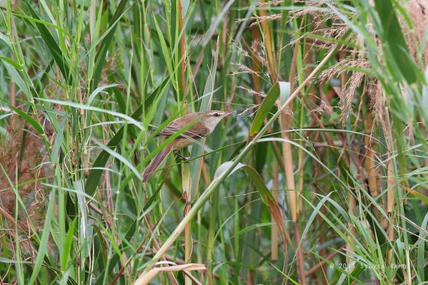 Oriental Reed-Warbler