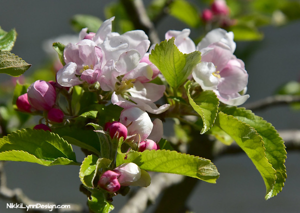 The blossoms of the apple trees mean that it is time to plant the more tender garden seed. The needed temperature of about 60 degrees in the shade, which makes watching the apple tree blossoms a good sign it is time to plant the next round of seed.