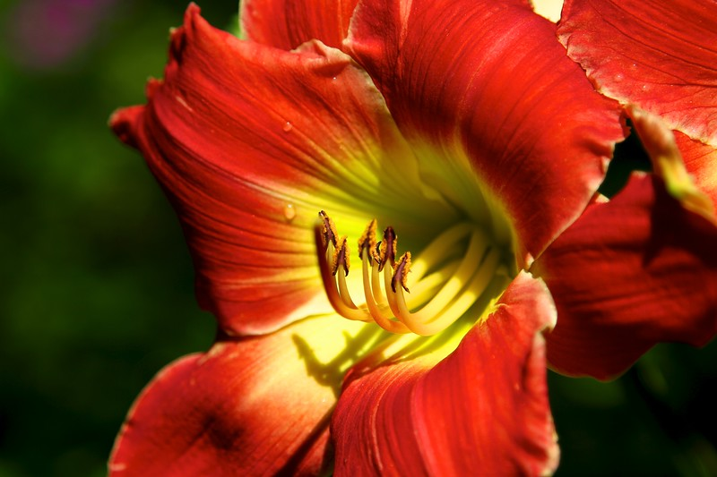 "The garden today on July 7, 2012 Hemerocallis ""God is Listening"""