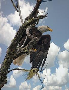 Hawks -Eagles-and Falcons