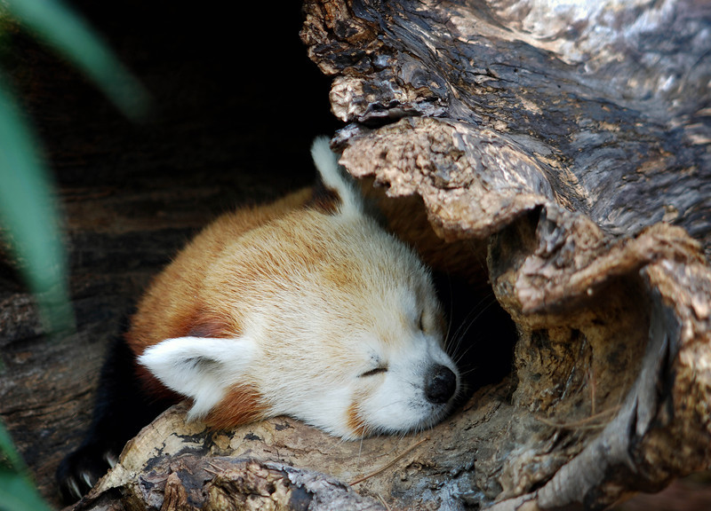 Red panda on a log  .jpg
