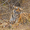 Tiger on a deer kill in the grasslands in Ranthambhore national park, India