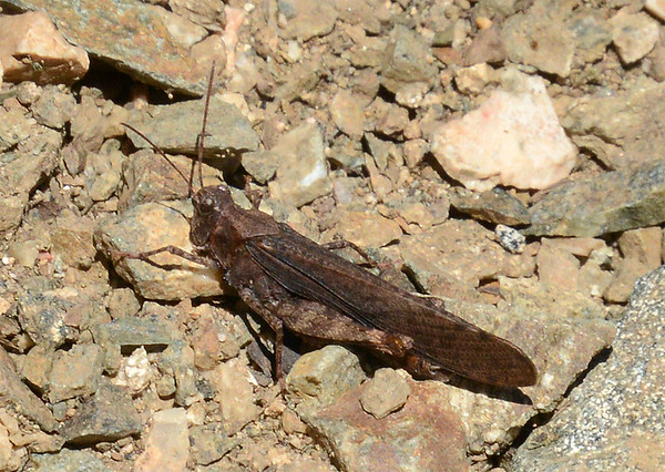 Trimerotropis verruculata (Crackling Forest Grasshopper)