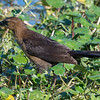 Female boat-tailed grackle, Green Cay Wetlands
