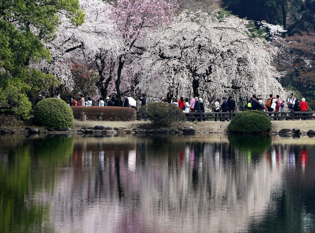 . Cherry blossom flowers are reflected on a pond at Shinjuku Gyoen national garden in Tokyo, Monday, March 26, 2018. Cherry blossom flowers are at full bloom in Tokyo, Japan as it warms up for the spring season.(AP Photo/Koji Sasahara)
