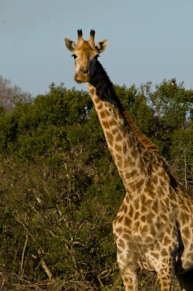 giraffeDSC_4409.jpg