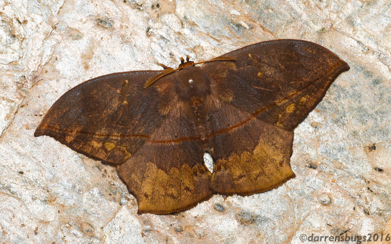 Cryptic dead leaf-imitating moth (Saturniidae: Oxytenis sp.) from Belize.