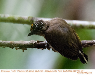 Olivacous Piculet M84294.jpg