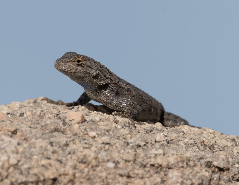 Basking Great Basin Fence Lizard