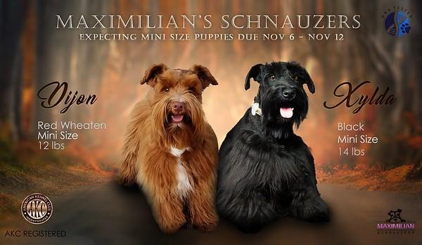 Xylda & Dijon Puppies, DOB 11/06/2020