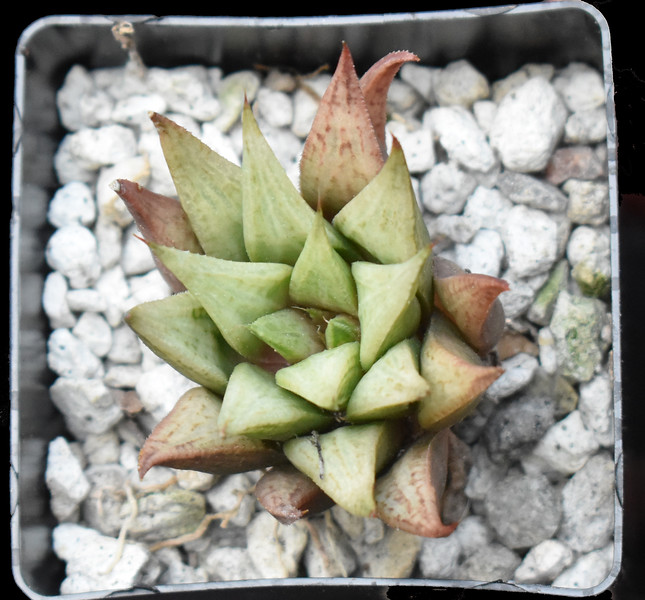 Haworthia Shocking blue