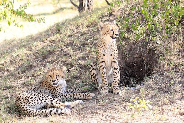 Cheetah Cubs Mara Kenya 2015