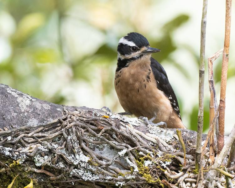 Hairy Woodpecker (resident race)