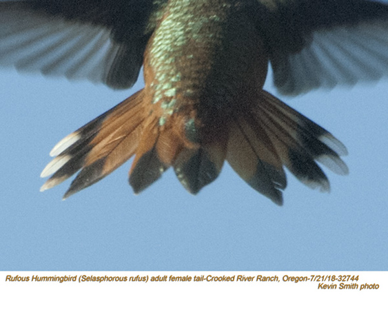 Rufous Hummingbird F32963.jpg