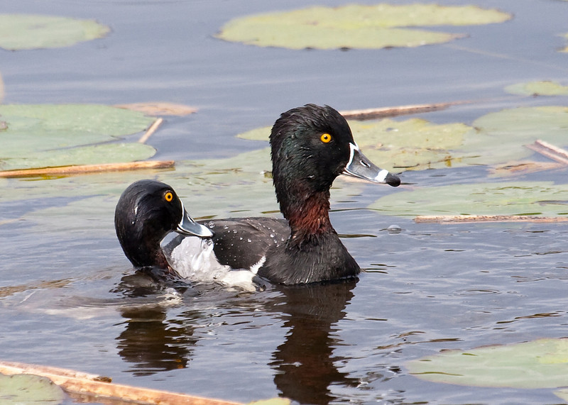 ring necked duck drake
