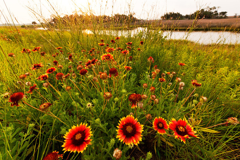 Indian Blanket Flowers - Grow along the banks of Stoney Bayou No. 1