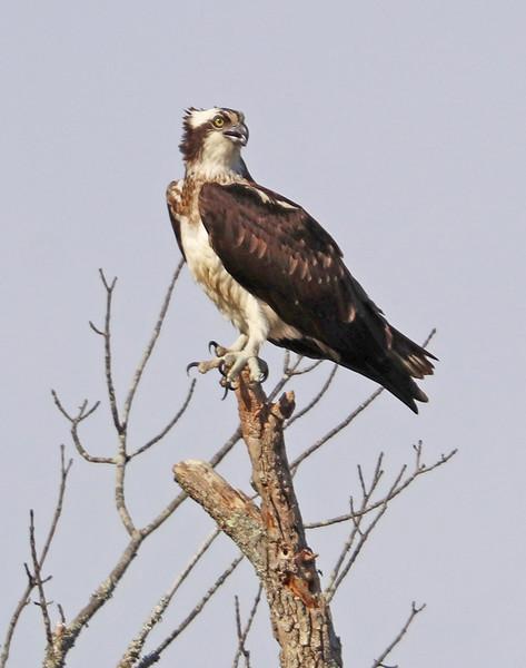 leavitt_osprey.jpg