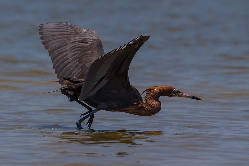 ZZReddish Egrets, Galveston, 6-7-13, 424R, cropped LTROOM, SMALL.jpg