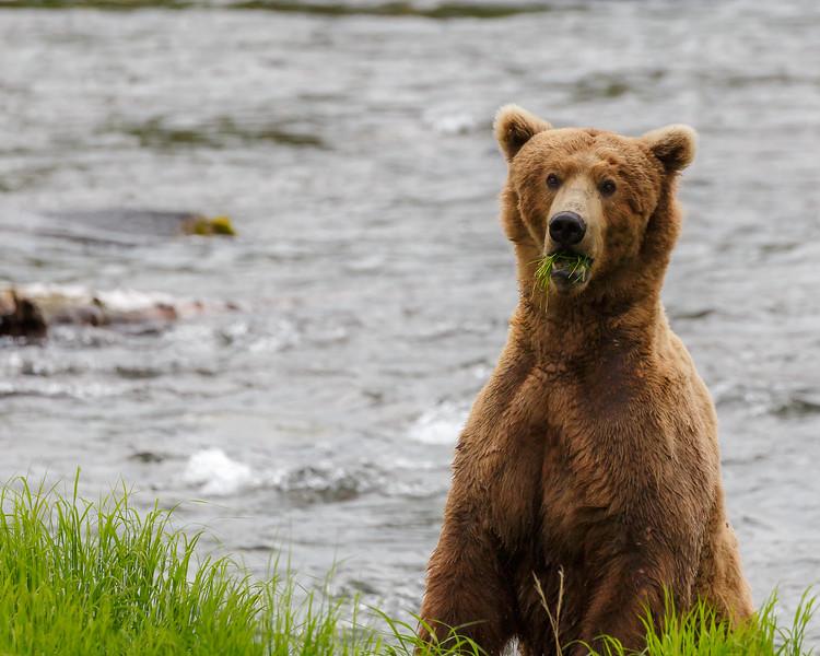 brooks fall bear 3.jpg