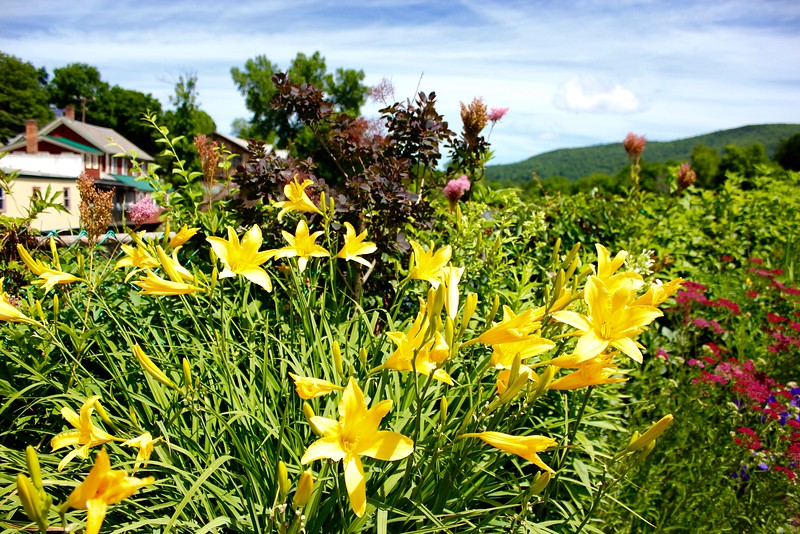 yellow lilies on the Bridge of Flowers in Shelburne Falls, Massachusetts