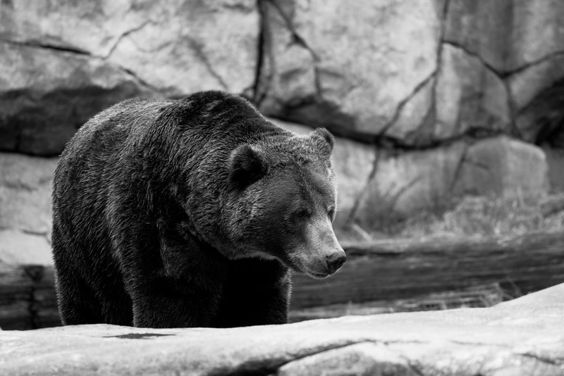 Grizzly_51010530.jpg