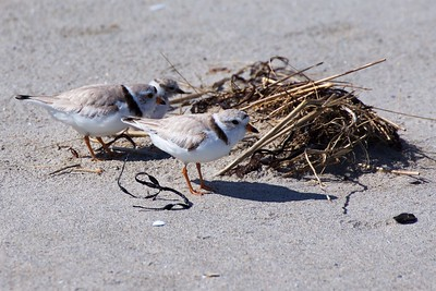Good Harbor Beach Piping Plovers 2018-06-25