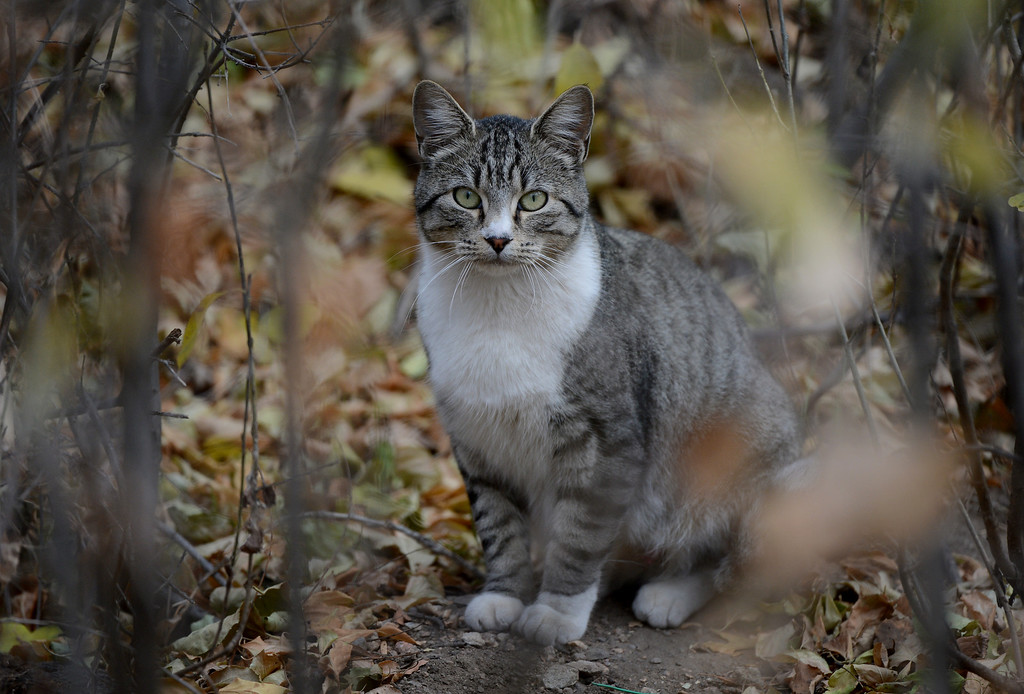 . A cat sits along South Platte River Dr., where a colony of feral cats is living in Denver, CO, Thursday December 06, 2012. Craig F. Walker, The Denver Post