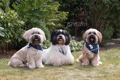 Lhasa Apso Party